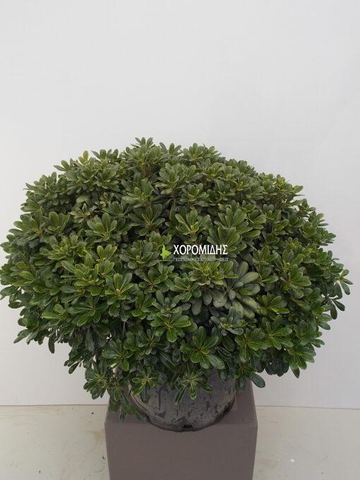 PITTOSPORUM TOBIRA ΝΑΝUM (ΑΓΓΕΛΙΚΗ ΝΑΝΑ)| Φυτώρια/Γεωπονικές Επιχειρήσεις Χορομίδης: γλάστρες, φυτά, καρποφόρα, αειθαλή, φυτοχώματα, λιπάσματα, εργαλεία και είδη κήπου | Horomidis Agronomic Corp. Flower pots, plants, garden utensils and supplies, evergreens, fruit trees, fertilizer, soil