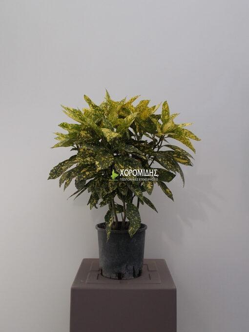 AUCUBA JAPONICA CROTONIFOLIA (ΑΟΥΚΟΥΜΠΑ)| Φυτώρια/Γεωπονικές Επιχειρήσεις Χορομίδης: γλάστρες, φυτά, καρποφόρα, αειθαλή, φυτοχώματα, λιπάσματα, εργαλεία και είδη κήπου | Horomidis Agronomic Corp. Flower pots, plants, garden utensils and supplies, evergreens, fruit trees, fertilizer, soil