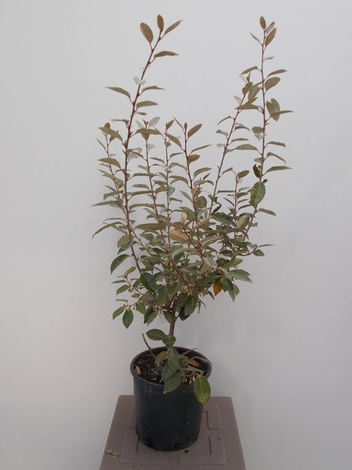 ELAEAGNUS EBBINGEI (ΕΛΑΙΑΓΝΟΣ)  Φυτώρια/Γεωπονικές Επιχειρήσεις Χορομίδης: γλάστρες, φυτά, καρποφόρα, αειθαλή, φυτοχώματα, λιπάσματα, εργαλεία και είδη κήπου   Horomidis Agronomic Corp. Flower pots, plants, garden utensils and supplies, evergreens, fruit trees, fertilizer, soil