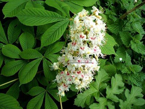 AESCULUS HIPPOCASTANUM,ΙΠΠΟΚΑΣΤΑΝΙΑ, | Φυτώρια/Γεωπονικές Επιχειρήσεις Χορομίδης: γλάστρες, φυτά, καρποφόρα, αειθαλή, φυτοχώματα, λιπάσματα, εργαλεία και είδη κήπου | Horomidis Agronomic Corp. Flower pots, plants, garden utensils and supplies, evergreens, fruit trees, fertilizer, soil