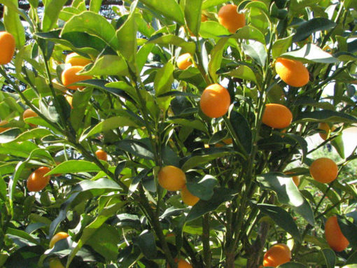 Fortunella margarita mini fusto (ΚΟΥΜ ΚΟΥΑΤ ΜΙΝΙ ΚΟΡΜΟΣ)| Φυτώρια/Γεωπονικές Επιχειρήσεις Χορομίδης: γλάστρες, φυτά, καρποφόρα, αειθαλή, φυτοχώματα, λιπάσματα, εργαλεία και είδη κήπου | Horomidis Agronomic Corp. Flower pots, plants, garden utensils and supplies, evergreens, fruit trees, fertilizer, soil