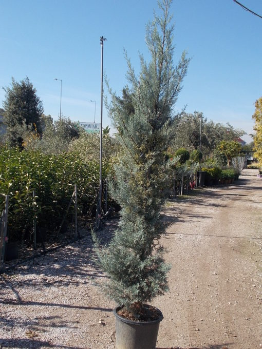 CUPRESSUS ARIZONICA FASTIGIATA (ΓΛΑΥΚΟ ΚΥΠΑΡΙΣΣΙ)| Φυτώρια/Γεωπονικές Επιχειρήσεις Χορομίδης: γλάστρες, φυτά, καρποφόρα, αειθαλή, φυτοχώματα, λιπάσματα, εργαλεία και είδη κήπου | Horomidis Agronomic Corp. Flower pots, plants, garden utensils and supplies, evergreens, fruit trees, fertilizer, soil