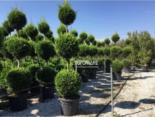Cupressocyparis castlewelland gold (ΛΕΙΛΑΝΤ 3 ΜΠΑΛΕΣ)| Φυτώρια/Γεωπονικές Επιχειρήσεις Χορομίδης: γλάστρες, φυτά, καρποφόρα, αειθαλή, φυτοχώματα, λιπάσματα, εργαλεία και είδη κήπου | Horomidis Agronomic Corp. Flower pots, plants, garden utensils and supplies, evergreens, fruit trees, fertilizer, soil