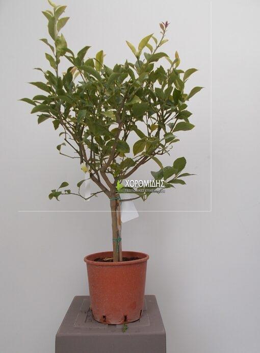CITRUS LIMON MINI FUSTO (ΛΕΜΟΝΙΑ ΜΙΝΙ ΚΟΡΜΟΣ)| Φυτώρια/Γεωπονικές Επιχειρήσεις Χορομίδης: γλάστρες, φυτά, καρποφόρα, αειθαλή, φυτοχώματα, λιπάσματα, εργαλεία και είδη κήπου | Horomidis Agronomic Corp. Flower pots, plants, garden utensils and supplies, evergreens, fruit trees, fertilizer, soil