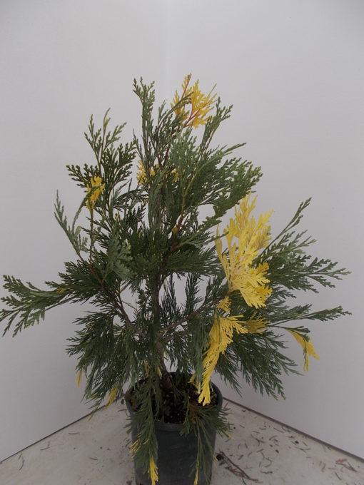 LIBOCEDRUS DECURRENS AUREA (ΛΙΠΟΚΕΔΡΟΣ ΔΙΧΡΩΜΟΣ)/ Γεωπονικές Επιχειρήσεις Χορομίδης: γλάστρες, φυτά, καρποφόρα, αειθαλή, φυτοχώματα, λιπάσματα, εργαλεία και είδη κήπου   Horomidis Agronomic Corp. Flower pots, plants, garden utensils and supplies, evergreens, fruit trees, fertilizer, soil