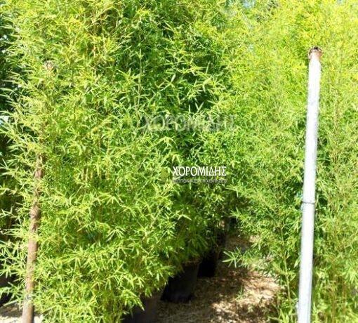 PHYLLOSTACHYS AUREA (ΜΠΑΜΠΟΥ) Αειθαλής θάμνοι| Φυτώρια/Γεωπονικές Επιχειρήσεις Χορομίδης: γλάστρες, φυτά, καρποφόρα, αειθαλή, φυτοχώματα, λιπάσματα, εργαλεία και είδη κήπου | Horomidis Agronomic Corp. Flower pots, plants, garden utensils and supplies, evergreens, fruit trees, fertilizer, soil