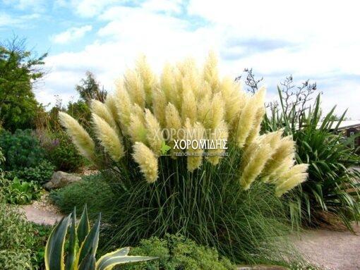 CORTADERIA SELLOANA (ΓΥΝΕΡΙΟ), Καρποφόρο δέντρο | Φυτώρια/Γεωπονικές Επιχειρήσεις Χορομίδης: γλάστρες, φυτά, καρποφόρα, αειθαλή, φυτοχώματα, λιπάσματα, εργαλεία και είδη κήπου | Horomidis Agronomic Corp. Flower pots, plants, garden utensils and supplies, evergreens, fruit trees, fertilizer, soil