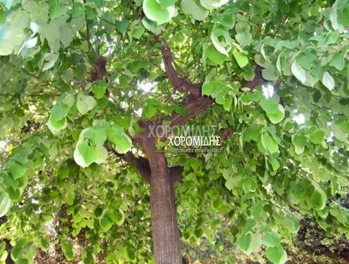 TILIA TOMENTOSA (ΤΙΛΙΑ Ή ΦΛΑΜΟΥΡΙΑ Ή ΦΙΛΥΡΑ) Φυλλοβόλα καλλωπιστικά δέντρα | Φυτώρια /Γεωπονικές Επιχειρήσεις Χορομίδης: γλάστρες, φυτά , καρποφόρα, αειθαλή, φυτοχώματα, λιπάσματα, εργαλεία και είδη κήπου | Horomidis Agronomic Corp. Flower pots, plants, garden utensils and supplies, evergreens, fruit trees, fertilizer, soil