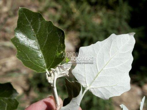 POPULUS ALBA (ΛΕΥΚΑ ΑΡΓΥΡΟΦΥΛΛΗ), ΦΥΛΛΟΒΟΛΑ ΚΑΛΛΩΠΙΣΤΙΚΑ ΔΕΝΔΡΑ | Φυτώρια/Γεωπονικές Επιχειρήσεις Χορομίδης: γλάστρες , φυτά, καρποφόρα, αειθαλή, φυτοχώματα, λιπάσματα, εργαλεία και είδη κήπου | Horomidis Agronomic Corp. Flower pots, plants, garden utensils and supplies, evergreens, fruit trees, fertilizer, soil