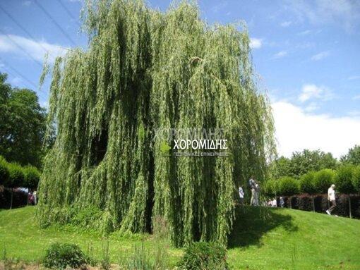 SALIX SEPULCRALIS (ΙΤΙΑ ΚΛΕΟΥΟΣΑ) Φυλλοβόλα καλλωπιστικά δέντρα   Φυτώρια /Γεωπονικές Επιχειρήσεις Χορομίδης: γλάστρες, φυτά , καρποφόρα, αειθαλή, φυτοχώματα, λιπάσματα, εργαλεία και είδη κήπου   Horomidis Agronomic Corp. Flower pots, plants, garden utensils and supplies, evergreens, fruit trees, fertilizer, soil