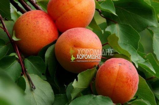 PRUNUS ARMENIACA (ΒΕΡΙΚΟΚΙΑ Η ΧΡΥΣΟΜΗΛΙΑ), Καρποφόρο δέντρο | Φυτώρια/Γεωπονικές Επιχειρήσεις Χορομίδης: γλάστρες, φυτά, καρποφόρα, αειθαλή, φυτοχώματα, λιπάσματα, εργαλεία και είδη κήπου | Horomidis Agronomic Corp. Flower pots, plants, garden utensils and supplies, evergreens, fruit trees, fertilizer, soil