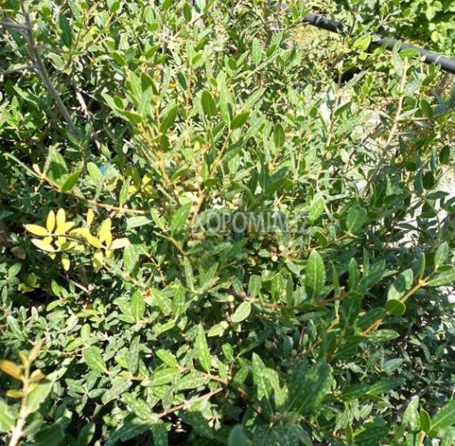 PHILLYREA ANGUSTIFOLIA (ΦΙΛΥΡΕΑ) Αειθαλής θάμνοι  Φυτώρια/Γεωπονικές Επιχειρήσεις Χορομίδης: γλάστρες, φυτά, καρποφόρα, αειθαλή, φυτοχώματα, λιπάσματα, εργαλεία και είδη κήπου   Horomidis Agronomic Corp. Flower pots, plants, garden utensils and supplies, evergreens, fruit trees, fertilizer, soil