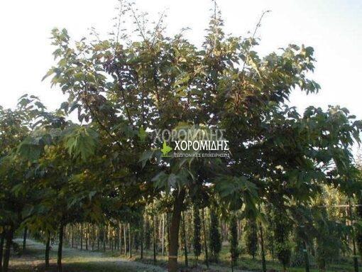 MORUS PLATANIFOLIA FRUITLESS (ΜΟΥΡΙΑ), ΦΥΛΛΟΒΟΛΑ ΚΑΛΛΩΠΙΣΤΙΚΑ ΔΕΝΔΡΑ   Φυτώρια/Γεωπονικές Επιχειρήσεις Χορομίδης: γλάστρες , φυτά, καρποφόρα, αειθαλή, φυτοχώματα, λιπάσματα, εργαλεία και είδη κήπου   Horomidis Agronomic Corp. Flower pots, plants, garden utensils and supplies, evergreens, fruit trees, fertilizer, soil
