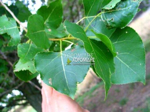 POPULUS CANADENSIS (ΛΕΥΚΑ), ΦΥΛΛΟΒΟΛΑ ΚΑΛΛΩΠΙΣΤΙΚΑ ΔΕΝΔΡΑ   Φυτώρια/Γεωπονικές Επιχειρήσεις Χορομίδης: γλάστρες , φυτά, καρποφόρα, αειθαλή, φυτοχώματα, λιπάσματα, εργαλεία και είδη κήπου   Horomidis Agronomic Corp. Flower pots, plants, garden utensils and supplies, evergreens, fruit trees, fertilizer, soil