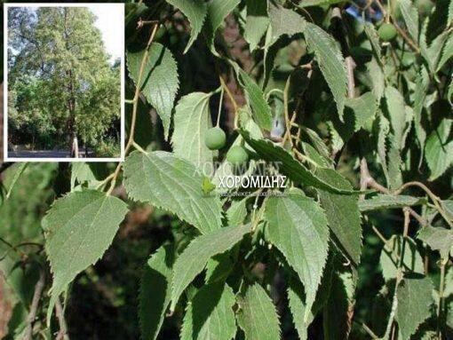 CELTIS AUSTRALIS (ΚΕΛΤΙΣ Ή ΜΕΛΙΚΟΥΚΙΑ), ΦΥΛΛΟΒΟΛΑ ΚΑΛΛΩΠΙΣΤΙΚΑ ΔΕΝΔΡΑ | Φυτώρια/Γεωπονικές Επιχειρήσεις Χορομίδης: γλάστρες , φυτά, καρποφόρα, αειθαλή, φυτοχώματα, λιπάσματα, εργαλεία και είδη κήπου | Horomidis Agronomic Corp. Flower pots, plants, garden utensils and supplies, evergreens, fruit trees, fertilizer, soil