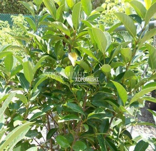 VIBURNUM LUCIDUM (ΒΙΒΟΥΡΝΟ ΛΟΥΣΙΝΤΟΥΜ) Αειθαλής θάμνοι| Φυτώρια/Γεωπονικές Επιχειρήσεις Χορομίδης: γλάστρες, φυτά, καρποφόρα, αειθαλή, φυτοχώματα, λιπάσματα, εργαλεία και είδη κήπου | Horomidis Agronomic Corp. Flower pots, plants, garden utensils and supplies, evergreens, fruit trees, fertilizer, soil