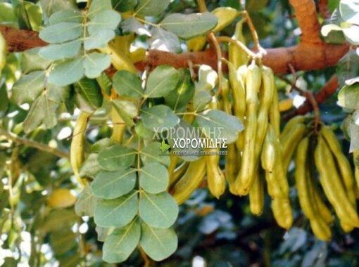 CRATONIA SILIQUA (ΧΑΡΟΥΠΙΑ Η ΞΥΛΟΚΕΡΑΤΙΑ) Αειθαλή καλλωπιστικά δένδρα| Φυτώρια/Γεωπονικές Επιχειρήσεις Χορομίδης: γλάστρες, φυτά, καρποφόρα, αειθαλή, φυτοχώματα, λιπάσματα, εργαλεία και είδη κήπου | Horomidis Agronomic Corp. Flower pots, plants, garden utensils and supplies, evergreens, fruit trees, fertilizer, soil