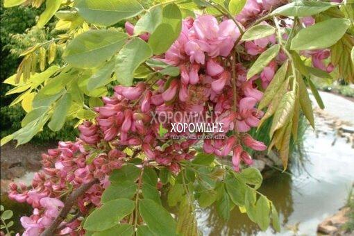 ROBINIA HISPIDA ROSEA (ΡΟΒΙΝΙΑ ΡΟΔΑΝΘΗΣ), ΦΥΛΛΟΒΟΛΑ ΚΑΛΛΩΠΙΣΤΙΚΑ ΔΕΝΔΡΑ | Φυτώρια/Γεωπονικές Επιχειρήσεις Χορομίδης: γλάστρες , φυτά, καρποφόρα, αειθαλή, φυτοχώματα, λιπάσματα, εργαλεία και είδη κήπου | Horomidis Agronomic Corp. Flower pots, plants, garden utensils and supplies, evergreens, fruit trees, fertilizer, soil
