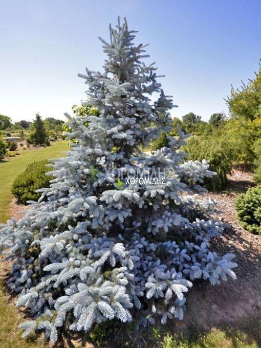 picea pungens hoopsi,ελατο μπλε | Φυτώρια/Γεωπονικές Επιχειρήσεις Χορομίδης: γλάστρες, φυτά, καρποφόρα, αειθαλή, φυτοχώματα, λιπάσματα, εργαλεία και είδη κήπου | Horomidis Agronomic Corp. Flower pots, plants, garden utensils and supplies, evergreens, fruit trees, fertilizer, soil