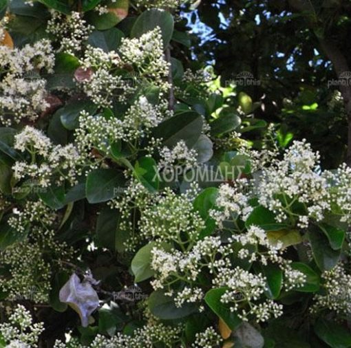 VIBURNUM ODORATISSIMUM (ΒΙΒΟΥΡΝΟ ΕΥΟΣΜΟ) Αειθαλής θάμνοι  Φυτώρια/Γεωπονικές Επιχειρήσεις Χορομίδης: γλάστρες, φυτά, καρποφόρα, αειθαλή, φυτοχώματα, λιπάσματα, εργαλεία και είδη κήπου   Horomidis Agronomic Corp. Flower pots, plants, garden utensils and supplies, evergreens, fruit trees, fertilizer, soil