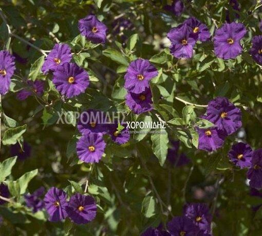 SOLANUM RANTONETII (ΣΟΛΑΝΟΥΜ ΡΑΝΤΟΝΕΤΙ) Αειθαλής θάμνοι| Φυτώρια/Γεωπονικές Επιχειρήσεις Χορομίδης: γλάστρες, φυτά, καρποφόρα, αειθαλή, φυτοχώματα, λιπάσματα, εργαλεία και είδη κήπου | Horomidis Agronomic Corp. Flower pots, plants, garden utensils and supplies, evergreens, fruit trees, fertilizer, soil