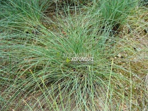 FESTUCA FILIFORMIS(ΦΕΣΤΟΥΚΑ ΠΡΑΣΙΝΗ), Καρποφόρο δέντρο | Φυτώρια/Γεωπονικές Επιχειρήσεις Χορομίδης: γλάστρες, φυτά, καρποφόρα, αειθαλή, φυτοχώματα, λιπάσματα, εργαλεία και είδη κήπου | Horomidis Agronomic Corp. Flower pots, plants, garden utensils and supplies, evergreens, fruit trees, fertilizer, soil