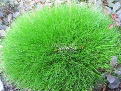 FESTUCA GAUTIERI SCOPARIA(ΦΕΣΤΟΥΚΑ ΠΡΑΣΙΝΗ), Καρποφόρο δέντρο | Φυτώρια/Γεωπονικές Επιχειρήσεις Χορομίδης: γλάστρες, φυτά, καρποφόρα, αειθαλή, φυτοχώματα, λιπάσματα, εργαλεία και είδη κήπου | Horomidis Agronomic Corp. Flower pots, plants, garden utensils and supplies, evergreens, fruit trees, fertilizer, soil