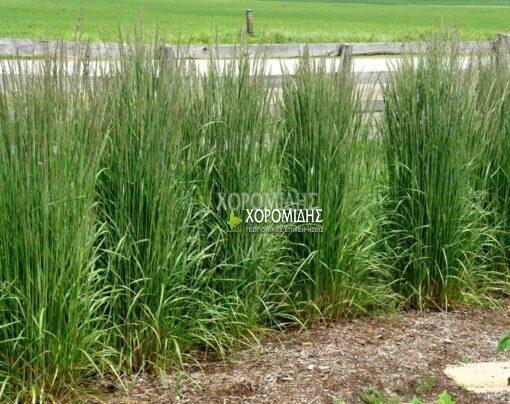 καλαμάγρωστις CALAMAGROSTIS ACUTIFLORA(ΚΑΛΑΜΑΓΚΡΟΣΤΙΣ), Καρποφόρο δέντρο | Φυτώρια/Γεωπονικές Επιχειρήσεις Χορομίδης: γλάστρες, φυτά, καρποφόρα, αειθαλή, φυτοχώματα, λιπάσματα, εργαλεία και είδη κήπου | Horomidis Agronomic Corp. Flower pots, plants, garden utensils and supplies, evergreens, fruit trees, fertilizer, soil