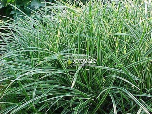 CAREX MORROWII ICE DANCE(KAΡΕΞ ΠΑΝΑΣΕ), Καρποφόρο δέντρο | Φυτώρια/Γεωπονικές Επιχειρήσεις Χορομίδης: γλάστρες, φυτά, καρποφόρα, αειθαλή, φυτοχώματα, λιπάσματα, εργαλεία και είδη κήπου | Horomidis Agronomic Corp. Flower pots, plants, garden utensils and supplies, evergreens, fruit trees, fertilizer, soil