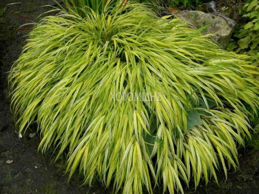 HAKONECHLOA MACRA AUREOLA(ΧΑΚΟΝΕΧΛΗ), Καρποφόρο δέντρο | Φυτώρια/Γεωπονικές Επιχειρήσεις Χορομίδης: γλάστρες, φυτά, καρποφόρα, αειθαλή, φυτοχώματα, λιπάσματα, εργαλεία και είδη κήπου | Horomidis Agronomic Corp. Flower pots, plants, garden utensils and supplies, evergreens, fruit trees, fertilizer, soil