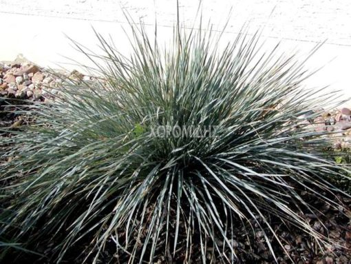 HELICTOTRICHON SEMPERVIRENS SAPHIRSPRUDEL(ΕΛΙΚΤΟΤΡΙΧΟ), Καρποφόρο δέντρο | Φυτώρια/Γεωπονικές Επιχειρήσεις Χορομίδης: γλάστρες, φυτά, καρποφόρα, αειθαλή, φυτοχώματα, λιπάσματα, εργαλεία και είδη κήπου | Horomidis Agronomic Corp. Flower pots, plants, garden utensils and supplies, evergreens, fruit trees, fertilizer, soil