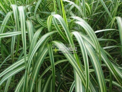 ΜISCANTHUS SINENSIS COSMOPOLITAN(ΜΙΣΧΑΝΘΟΣ), Καρποφόρο δέντρο | Φυτώρια/Γεωπονικές Επιχειρήσεις Χορομίδης: γλάστρες, φυτά, καρποφόρα, αειθαλή, φυτοχώματα, λιπάσματα, εργαλεία και είδη κήπου | Horomidis Agronomic Corp. Flower pots, plants, garden utensils and supplies, evergreens, fruit trees, fertilizer, soil