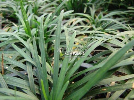 OPHIOPOGON JAPONICUS (ΟΦΙΟΠΟΓΩΝ ΠΡΑΣΙΝΟΣ), Καρποφόρο δέντρο | Φυτώρια/Γεωπονικές Επιχειρήσεις Χορομίδης: γλάστρες, φυτά, καρποφόρα, αειθαλή, φυτοχώματα, λιπάσματα, εργαλεία και είδη κήπου | Horomidis Agronomic Corp. Flower pots, plants, garden utensils and supplies, evergreens, fruit trees, fertilizer, soil