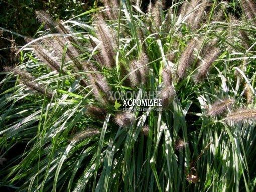 PENNISETUM ALOPECUROIDES MOUDRY (ΠΕΝΙΣΕΤΟ), Καρποφόρο δέντρο | Φυτώρια/Γεωπονικές Επιχειρήσεις Χορομίδης: γλάστρες, φυτά, καρποφόρα, αειθαλή, φυτοχώματα, λιπάσματα, εργαλεία και είδη κήπου | Horomidis Agronomic Corp. Flower pots, plants, garden utensils and supplies, evergreens, fruit trees, fertilizer, soil
