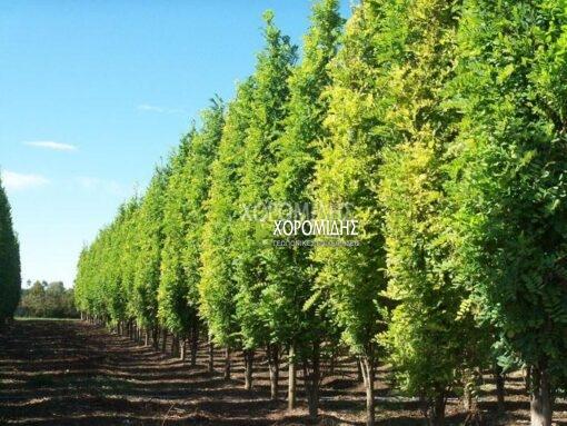 ROBINIA PSEUDOACACIA PYRAMIDALIS (ΡΟΒΙΝΙΑ ΨΕΥΔΟΑΚΑΚΙΑ ΠΥΡΑΜΙΔΑ), ΦΥΛΛΟΒΟΛΑ ΚΑΛΛΩΠΙΣΤΙΚΑ ΔΕΝΔΡΑ   Φυτώρια/Γεωπονικές Επιχειρήσεις Χορομίδης: γλάστρες , φυτά, καρποφόρα, αειθαλή, φυτοχώματα, λιπάσματα, εργαλεία και είδη κήπου   Horomidis Agronomic Corp. Flower pots, plants, garden utensils and supplies, evergreens, fruit trees, fertilizer, soil