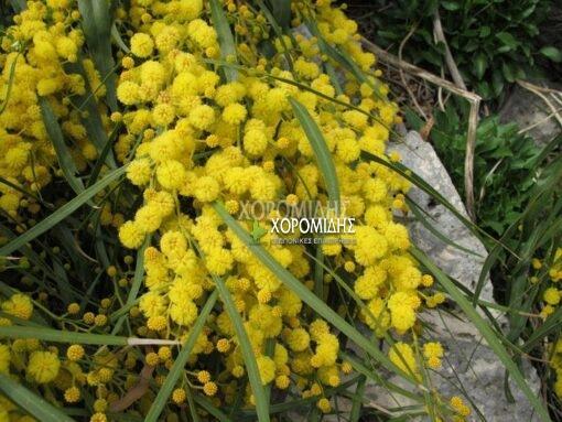 ACACIA LONGIFOLIA (ΑΚΑΚΙΑ ΚΥΑΝΟΦΥΛΛΗ) Αειθαλή καλλωπιστικά δένδρα| Φυτώρια/Γεωπονικές Επιχειρήσεις Χορομίδης: γλάστρες, φυτά, καρποφόρα, αειθαλή, φυτοχώματα, λιπάσματα, εργαλεία και είδη κήπου | Horomidis Agronomic Corp. Flower pots, plants, garden utensils and supplies, evergreens, fruit trees, fertilizer, soil