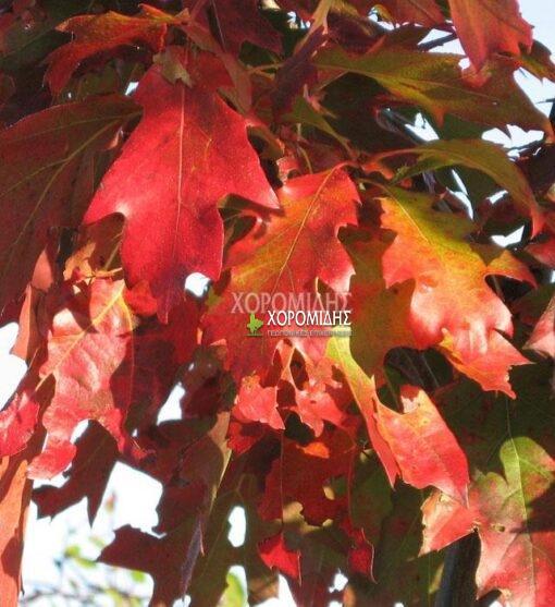 QUERCUS RUBRA (ΔΡΥΣ ΚΟΚΚΙΝΟΠΗ), ΦΥΛΛΟΒΟΛΑ ΚΑΛΛΩΠΙΣΤΙΚΑ ΔΕΝΔΡΑ | Φυτώρια/Γεωπονικές Επιχειρήσεις Χορομίδης: γλάστρες , φυτά, καρποφόρα, αειθαλή, φυτοχώματα, λιπάσματα, εργαλεία και είδη κήπου | Horomidis Agronomic Corp. Flower pots, plants, garden utensils and supplies, evergreens, fruit trees, fertilizer, soil