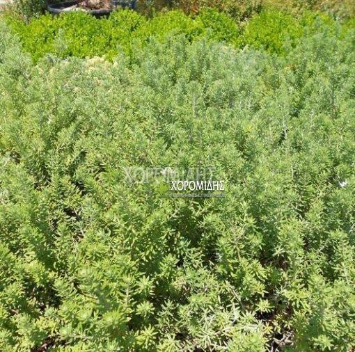 WESTRINGIA FRUTICOSA (ΒΕΣΤΡΙΓΚΙΑ) Αειθαλής θάμνοι| Φυτώρια/Γεωπονικές Επιχειρήσεις Χορομίδης: γλάστρες, φυτά, καρποφόρα, αειθαλή, φυτοχώματα, λιπάσματα, εργαλεία και είδη κήπου | Horomidis Agronomic Corp. Flower pots, plants, garden utensils and supplies, evergreens, fruit trees, fertilizer, soil