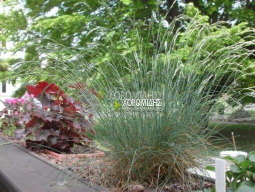 FESTUCA AMETHYSTINA(ΦΕΣΤΟΥΚΑ ΓΛΑΥΚΗ), Καρποφόρο δέντρο | Φυτώρια/Γεωπονικές Επιχειρήσεις Χορομίδης: γλάστρες, φυτά, καρποφόρα, αειθαλή, φυτοχώματα, λιπάσματα, εργαλεία και είδη κήπου | Horomidis Agronomic Corp. Flower pots, plants, garden utensils and supplies, evergreens, fruit trees, fertilizer, soil