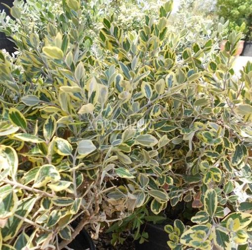 METROSIDEROS EXCELCUS AUREUS (ΜΕΤΡΟΣΙΔΗΡΟΣ ΠΑΝΑΣΕ) Αειθαλής θάμνοι| Φυτώρια/Γεωπονικές Επιχειρήσεις Χορομίδης: γλάστρες, φυτά, καρποφόρα, αειθαλή, φυτοχώματα, λιπάσματα, εργαλεία και είδη κήπου | Horomidis Agronomic Corp. Flower pots, plants, garden utensils and supplies, evergreens, fruit trees, fertilizer, soil