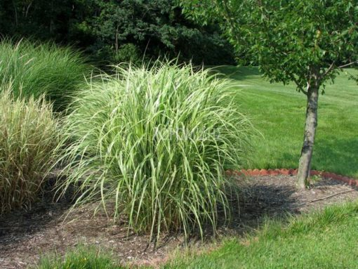 MISCANTHUS SINENSIS CONDENSATUS, Καρποφόρο δέντρο | Φυτώρια/Γεωπονικές Επιχειρήσεις Χορομίδης: γλάστρες, φυτά, καρποφόρα, αειθαλή, φυτοχώματα, λιπάσματα, εργαλεία και είδη κήπου | Horomidis Agronomic Corp. Flower pots, plants, garden utensils and supplies, evergreens, fruit trees, fertilizer, soil