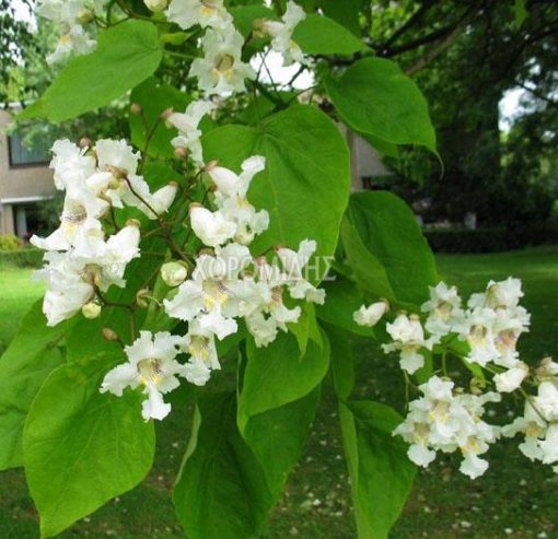 CAΤALPA BIGNONIOIDES (ΚΑΤΑΛΠΗ), ΦΥΛΛΟΒΟΛΑ ΚΑΛΛΩΠΙΣΤΙΚΑ ΔΕΝΔΡΑ | Φυτώρια/Γεωπονικές Επιχειρήσεις Χορομίδης: γλάστρες , φυτά, καρποφόρα, αειθαλή, φυτοχώματα, λιπάσματα, εργαλεία και είδη κήπου | Horomidis Agronomic Corp. Flower pots, plants, garden utensils and supplies, evergreens, fruit trees, fertilizer, soil