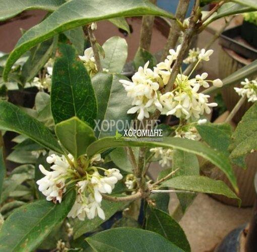 OSMANTHUS FRAGANS (ΟΣΜΑΝΘΟΣ) Αειθαλής θάμνοι| Φυτώρια/Γεωπονικές Επιχειρήσεις Χορομίδης: γλάστρες, φυτά, καρποφόρα, αειθαλή, φυτοχώματα, λιπάσματα, εργαλεία και είδη κήπου | Horomidis Agronomic Corp. Flower pots, plants, garden utensils and supplies, evergreens, fruit trees, fertilizer, soil