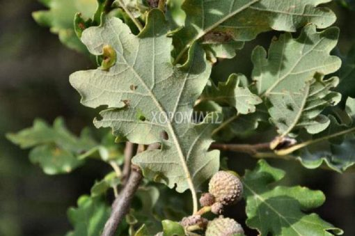QUERCUS PUBESCENS (ΔΡΥΣ Ή ΒΕΛΑΝΙΔΙΑ), ΦΥΛΛΟΒΟΛΑ ΚΑΛΛΩΠΙΣΤΙΚΑ ΔΕΝΔΡΑ | Φυτώρια/Γεωπονικές Επιχειρήσεις Χορομίδης: γλάστρες , φυτά, καρποφόρα, αειθαλή, φυτοχώματα, λιπάσματα, εργαλεία και είδη κήπου | Horomidis Agronomic Corp. Flower pots, plants, garden utensils and supplies, evergreens, fruit trees, fertilizer, soil