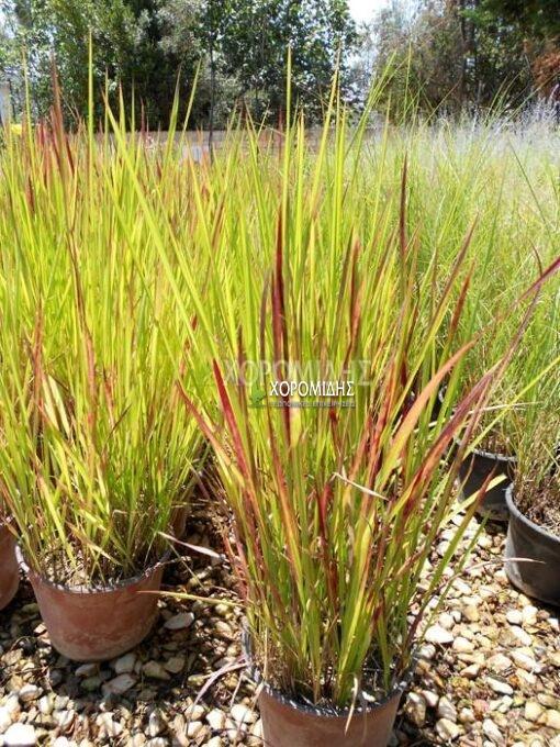 IMPERATA CYLINDRICA RED BARON(ΙΜΠΕΡΑΤΑ Η ΑΙΜΑΤΟΧΟΡΤΟ), Καρποφόρο δέντρο | Φυτώρια/Γεωπονικές Επιχειρήσεις Χορομίδης: γλάστρες, φυτά, καρποφόρα, αειθαλή, φυτοχώματα, λιπάσματα, εργαλεία και είδη κήπου | Horomidis Agronomic Corp. Flower pots, plants, garden utensils and supplies, evergreens, fruit trees, fertilizer, soil