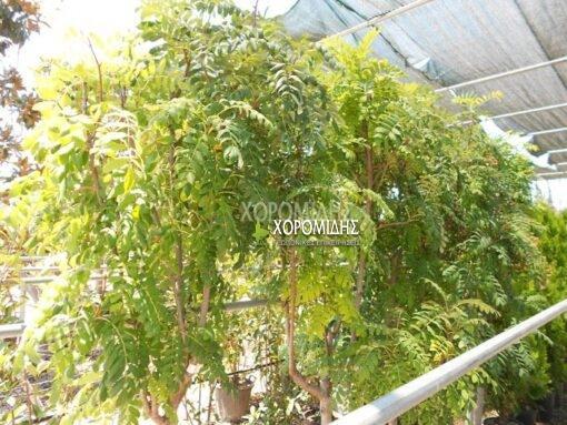 SORBUS DOMESTICA (ΣΟΡΒΟΣ) Φυλλοβόλα καλλωπιστικά δέντρα   Φυτώρια /Γεωπονικές Επιχειρήσεις Χορομίδης: γλάστρες, φυτά , καρποφόρα, αειθαλή, φυτοχώματα, λιπάσματα, εργαλεία και είδη κήπου   Horomidis Agronomic Corp. Flower pots, plants, garden utensils and supplies, evergreens, fruit trees, fertilizer, soil