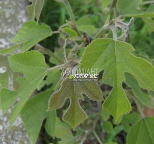 BROUSSONERTIA PAPYRIFERA (ΜΠΡΟΥΣΣΟΝΕΤΙΑ), ΦΥΛΛΟΒΟΛΑ ΚΑΛΛΩΠΙΣΤΙΚΑ ΔΕΝΔΡΑ | Φυτώρια/Γεωπονικές Επιχειρήσεις Χορομίδης: γλάστρες , φυτά, καρποφόρα, αειθαλή, φυτοχώματα, λιπάσματα, εργαλεία και είδη κήπου | Horomidis Agronomic Corp. Flower pots, plants, garden utensils and supplies, evergreens, fruit trees, fertilizer, soil