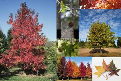 LIQUIDAMBAR STYRACIFLUA (ΛΙΚΙΔΑΜΒΑΡΗ), ΦΥΛΛΟΒΟΛΑ ΚΑΛΛΩΠΙΣΤΙΚΑ ΔΕΝΔΡΑ | Φυτώρια/Γεωπονικές Επιχειρήσεις Χορομίδης: γλάστρες , φυτά, καρποφόρα, αειθαλή, φυτοχώματα, λιπάσματα, εργαλεία και είδη κήπου | Horomidis Agronomic Corp. Flower pots, plants, garden utensils and supplies, evergreens, fruit trees, fertilizer, soil