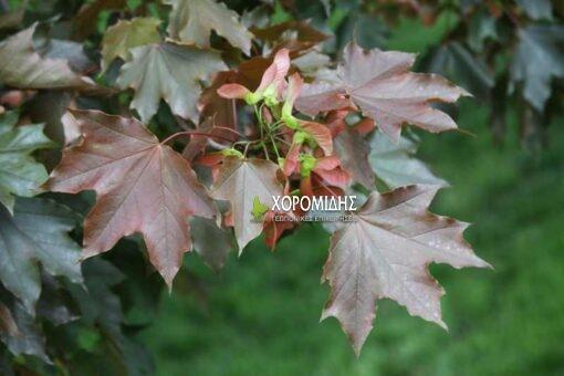ACER PLATANOIDES CRIMSON KING( ΣΦΕΝΔΑΜΙ ΚΡΙΜΣΟΝ ΚΙΝΓΚ), Καρποφόρο δέντρο | Φυτώρια/Γεωπονικές Επιχειρήσεις Χορομίδης: γλάστρες, φυτά, καρποφόρα, αειθαλή, φυτοχώματα, λιπάσματα, εργαλεία και είδη κήπου | Horomidis Agronomic Corp. Flower pots, plants, garden utensils and supplies, evergreens, fruit trees, fertilizer, soil