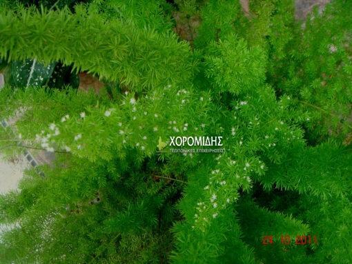 σπαράγγι, θάμνος, Asparagus densiflorus, Καρποφόρο δέντρο | Φυτώρια/Γεωπονικές Επιχειρήσεις Χορομίδης: γλάστρες, φυτά, καρποφόρα, αειθαλή, φυτοχώματα, λιπάσματα, εργαλεία και είδη κήπου | Horomidis Agronomic Corp. Flower pots, plants, garden utensils and supplies, evergreens, fruit trees, fertilizer, soil